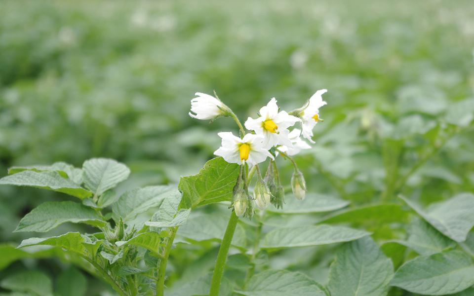 夏のジャガイモの花